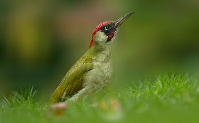 Foto der Art Picus viridis (Grünspecht)