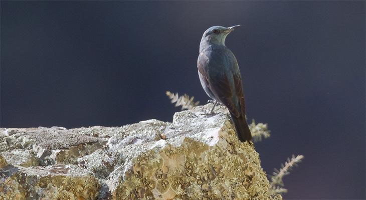 Foto der Art Monticola solitarius (Blaumerle)