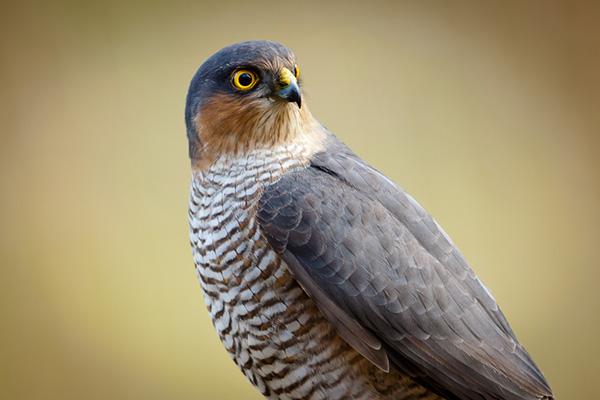 Foto der Art Accipiter nisus (Sperber)