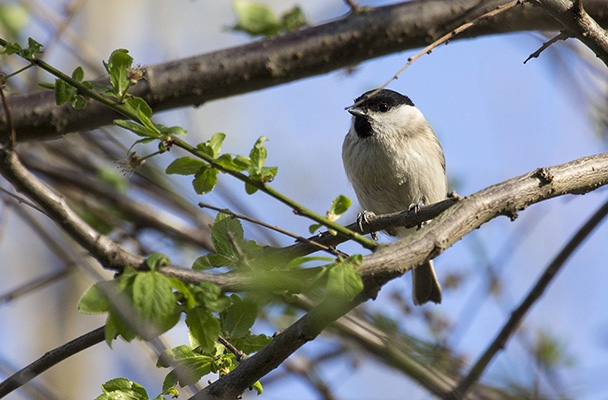Foto der Art Poecile palustris (Sumpfmeise)