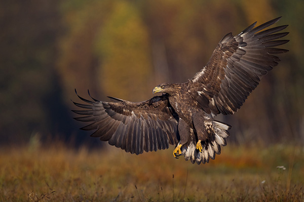 Foto der Art Haliaeetus albicilla (Seeadler)