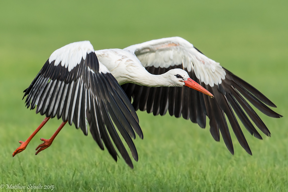 White Stork (Ciconia ciconia) - Feathers on featherbase info