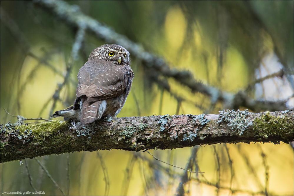 Eurasian Pygmy Owl Glaucidium Passerinum Feathers On Featherbase