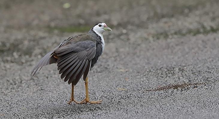 Foto der Art Amaurornis phoenicurus (Weißbrust-Kielralle)