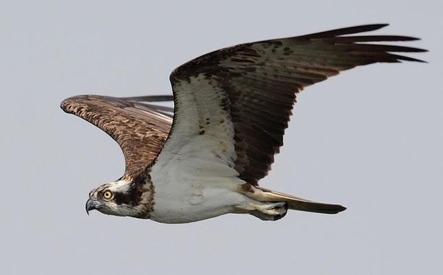 Foto der Art Pandion haliaetus (Fischadler)