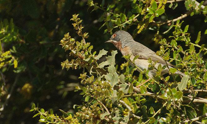 Foto der Art Curruca cantillans (Weißbart-Grasmücke)