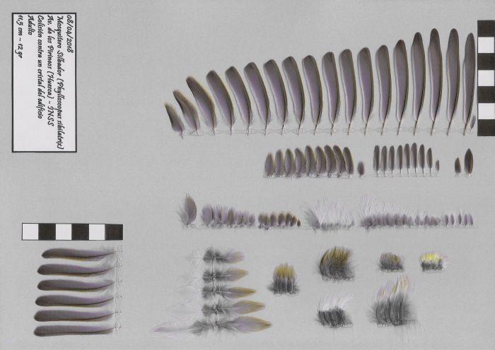 Bild von Federn der Art Phylloscopus sibilatrix (Waldlaubsänger)