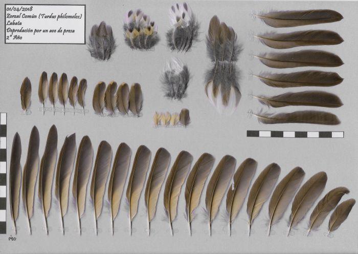 Bild von Federn der Art Turdus philomelos (Singdrossel)