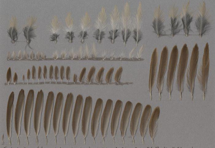 Bild von Federn der Art Acrocephalus scirpaceus (Teichrohrsänger)