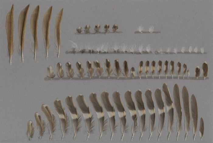 Bild von Federn der Art Certhia familiaris (Waldbaumläufer)