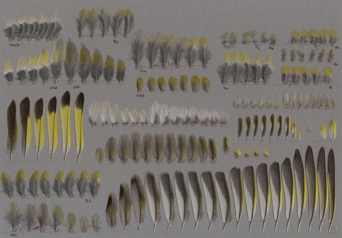 Bild von Federn der Art Chloris chloris (Grünfink)