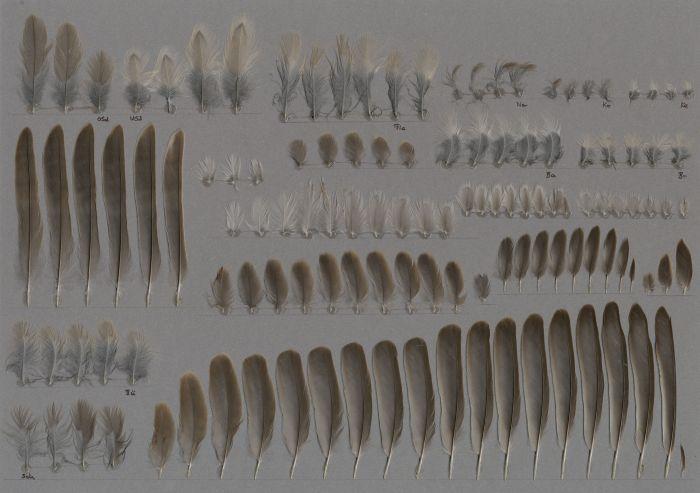 Bild von Federn der Art Sylvia nisoria (Sperbergrasmücke)