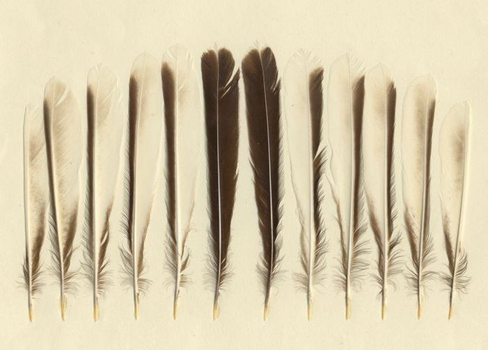 Bild von Federn der Art Rhipidura fuliginosa (Graufächerschwanz)