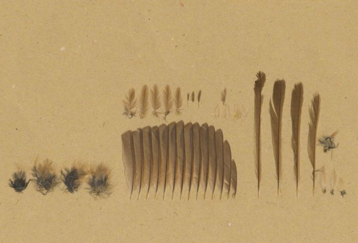 Bild von Federn der Art Malurus melanocephalus (Rotrücken-Staffelschwanz)
