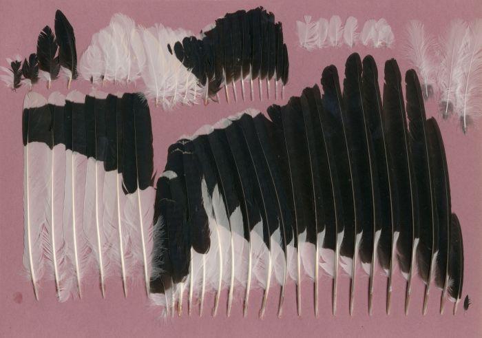Bild von Federn der Art Grallina cyanoleuca (Drosselstelze)