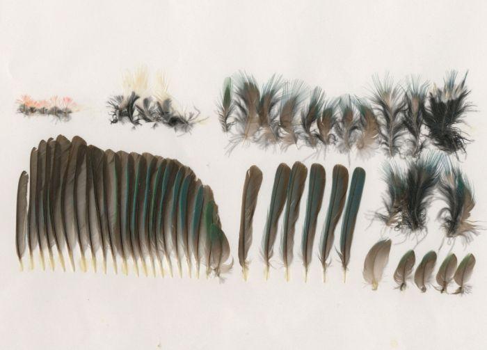 Bild von Federn der Art Todus subulatus (Breitschnabeltodi)