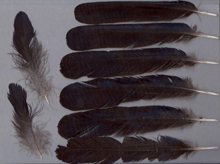 Bild von Federn der Art Corvus mellori (Gesellschaftskrähe)