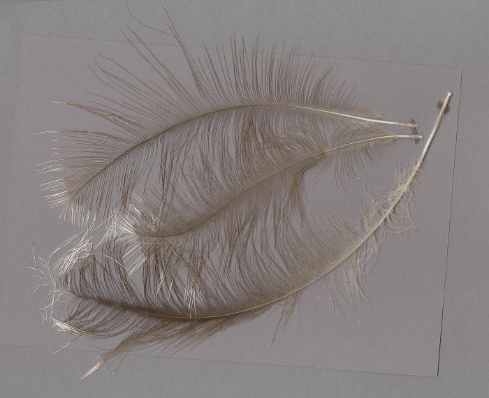 Bild von Federn der Art Rhea pennata (Darwinnandu)