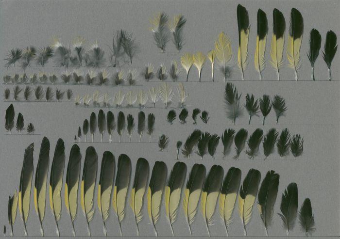 Bild von Federn der Art Carduelis xanthogastra (Gelbbauchzeisig)