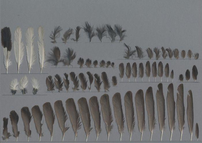 Bild von Federn der Art Oenanthe leucopyga (Saharasteinschmätzer)