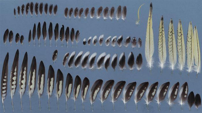 Bild von Federn der Art Nymphicus hollandicus (Nymphensittich)