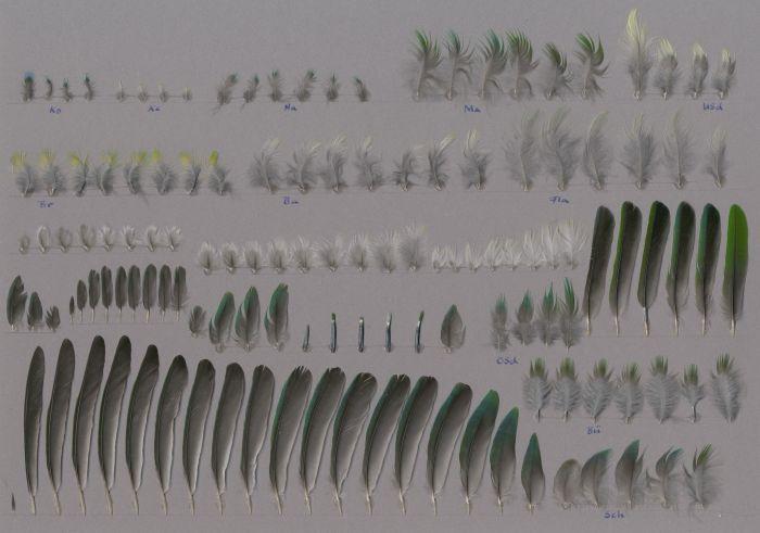 Bild von Federn der Art Chlorophonia occipitalis (Blaukronorganist)