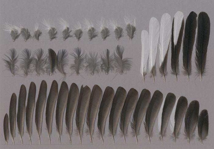 Bild von Federn der Art Copsychus saularis (Dajaldrossel)