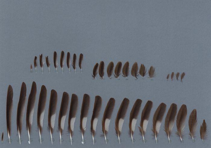 Bild von Federn der Art Catharus guttatus (Einsiedlerdrossel)