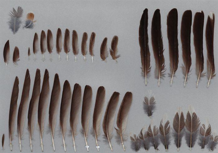 Bild von Federn der Art Turdus migratorius (Wanderdrossel)