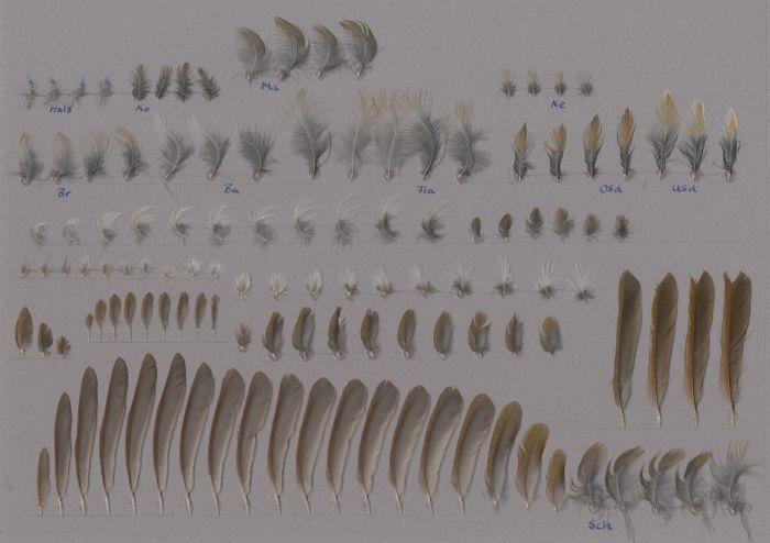 Bild von Federn der Art Niltava macgrigoriae (Feenblauschnäpper)