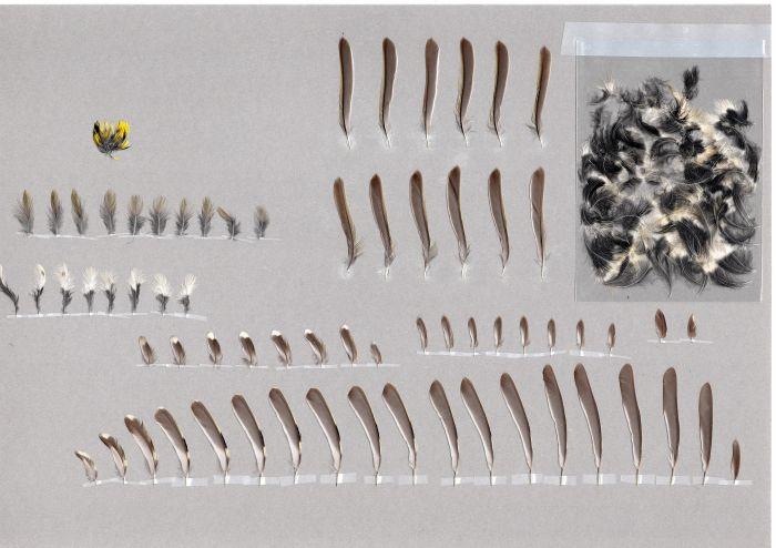 Bild von Federn der Art Regulus regulus (Wintergoldhähnchen)