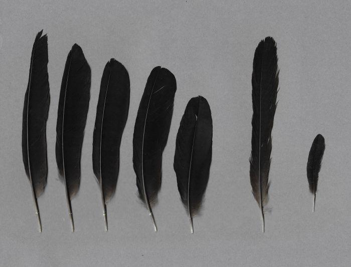 Bild von Federn der Art Quiscalus mexicanus (Dohlengrackel)