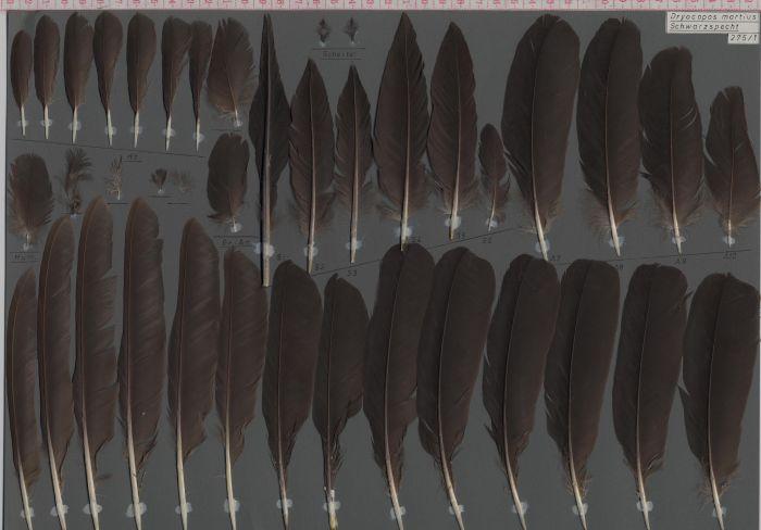Bild von Federn der Art Dryocopus martius (Schwarzspecht)