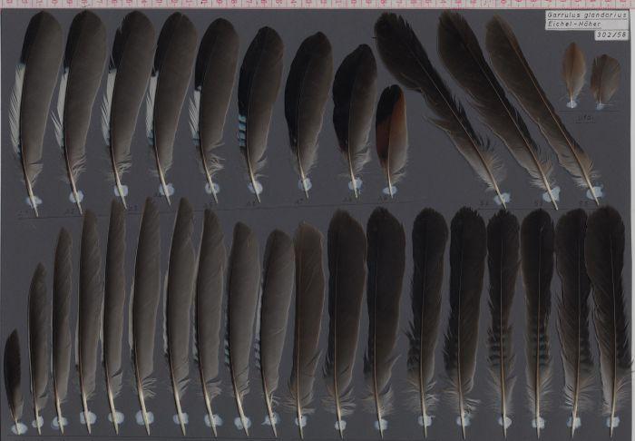 Bild von Federn der Art Garrulus glandarius (Eichelhäher)