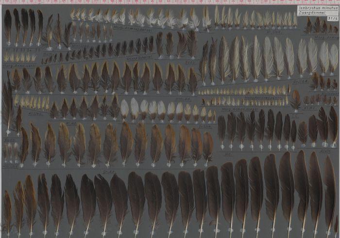 Bild von Federn der Art Ixobrychus minutus (Zwergdommel)