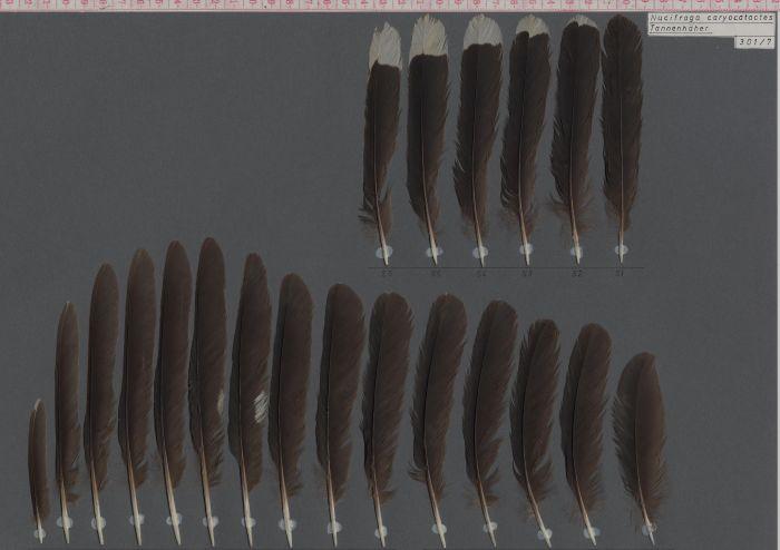 Bild von Federn der Art Nucifraga caryocatactes (Tannenhäher)