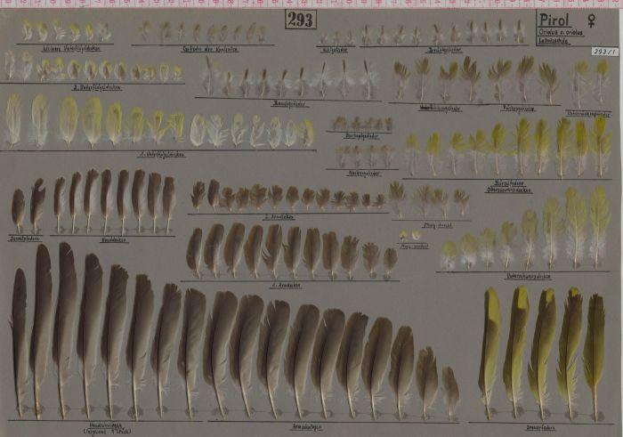 Bild von Federn der Art Oriolus oriolus (Pirol)