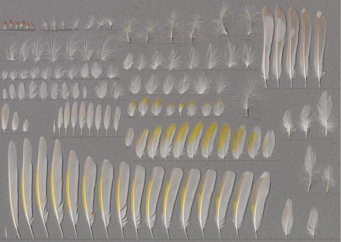 Bild von Federn der Art Carduelis carduelis (Stieglitz)