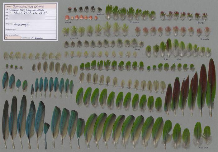 Bild von Federn der Art Pyrrhura roseifrons (Rosenscheitelsittich)