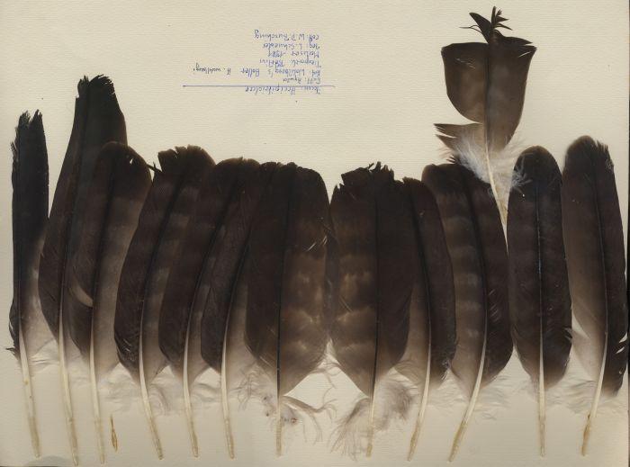 Bild von Federn der Art Aquila wahlbergi (Silberadler)