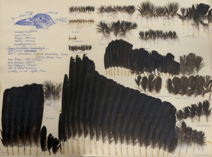 Bild von Federn der Art Corvus splendens (Glanzkrähe)