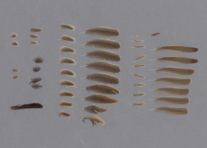 Bild von Federn der Art Eremopterix nigriceps (Weißstirnlerche)