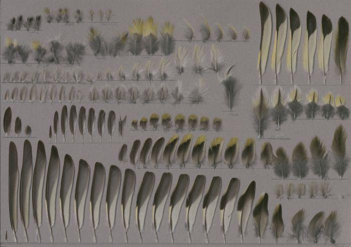 Bild von Federn der Art Spinus spinus (Erlenzeisig)