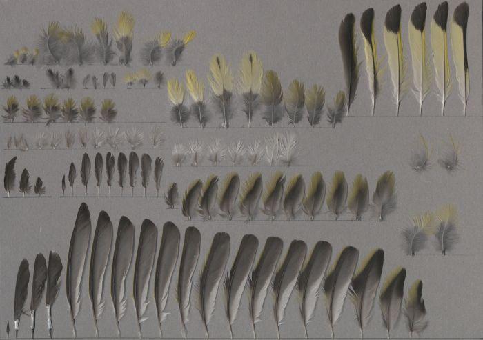 Bild von Federn der Art Spinus dominicensis (Haitizeisig)