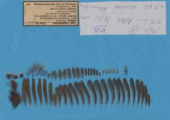 Bild von Federn der Art Thryothorus ludovicianus (Carolinazaunkönig)