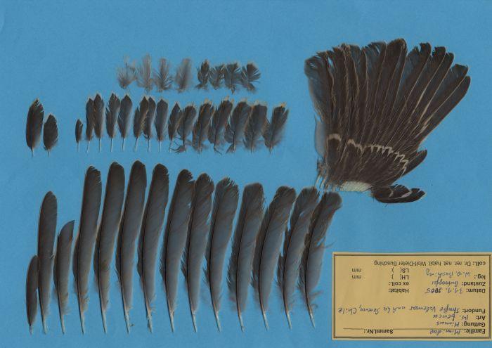 Bild von Federn der Art Mimus thenca (Chilespottdrossel)