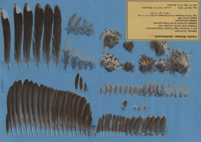 Bild von Federn der Art Oreoscoptes montanus (Bergspottdrossel)