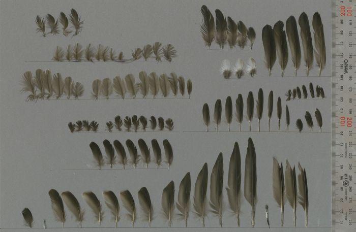 Bild von Federn der Art Apus nipalensis (Malaiensegler)