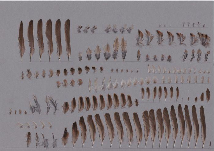Bild von Federn der Art Passer montanus (Feldsperling)