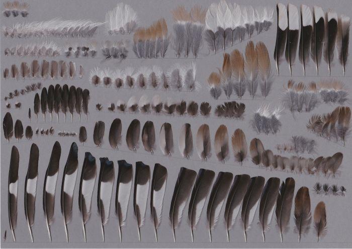 Bild von Federn der Art Coccothraustes coccothraustes (Kernbeißer)